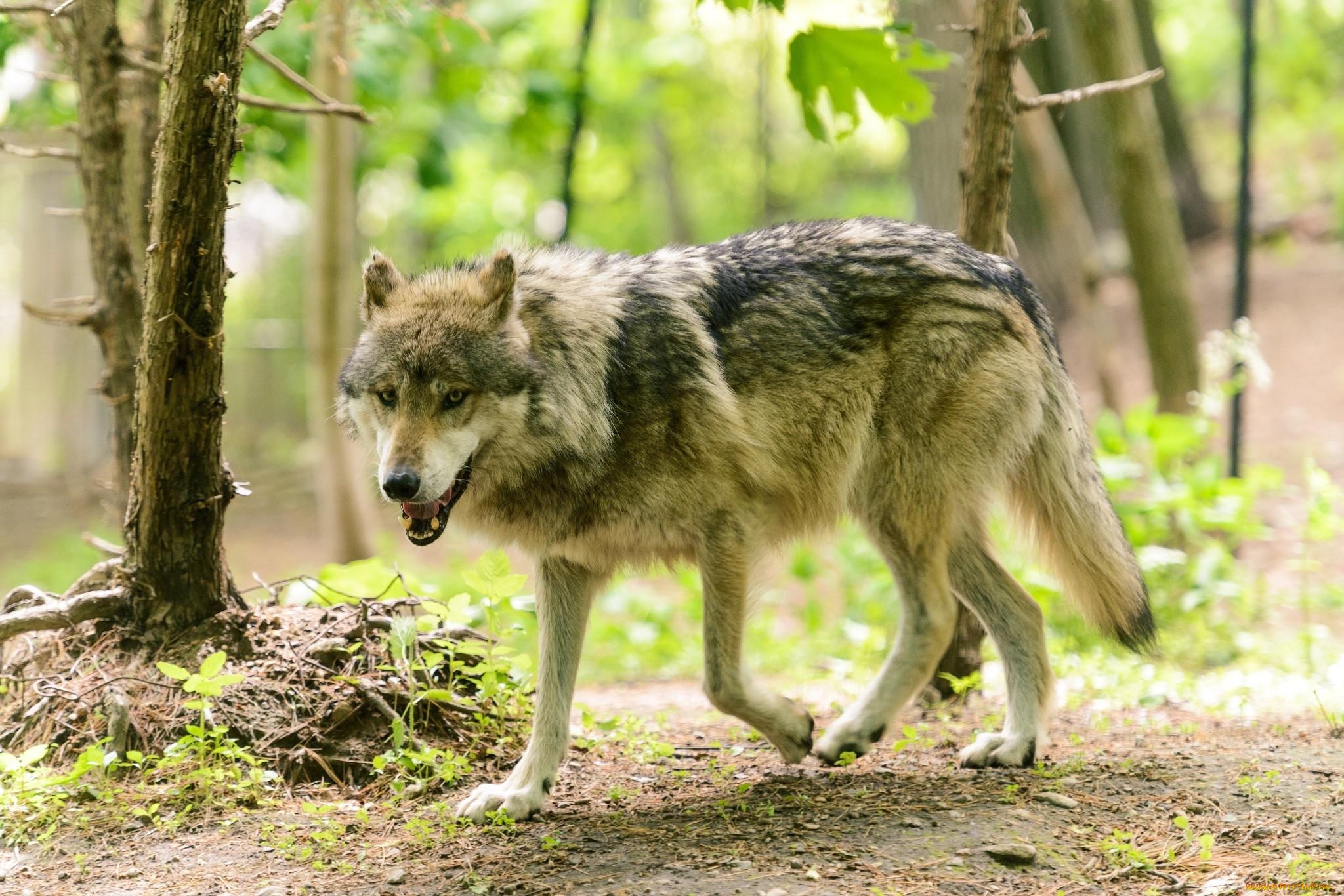 Картинки зверей волков